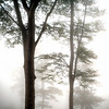 Forest of Iraty.......beach trees in the mountain mist