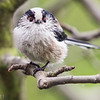 An inquisitive long-tailed tit with a tick